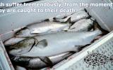 fishsuffer