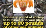 shrimp_bycatch